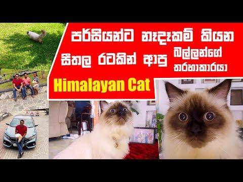 පර්සියන්ට නෑදෑකම් කියන සීතල රටකින් ආපු බල්ලන්ගේ තරහාකාරයා Himalayan cat | Pet Talk