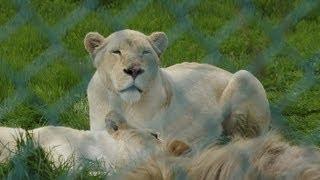 那須サファリパークの動物たち。 ライオンバスから見た動物たちの様子。...