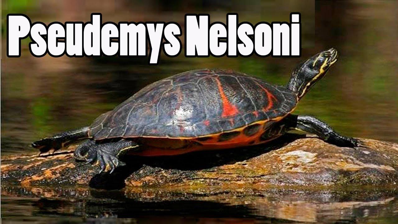 Pseudemys Nelsoni, Tortuga de Vientre Rojo