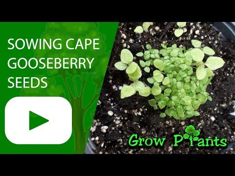 Sowing Cape gooseberry