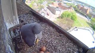 Derby Peregrines 2015 (9) Amazing Hatching Sequence