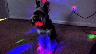 Schnauzers Love Progressive House Music