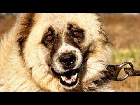 5 of the BIGGEST & BEST GUARD DOGS in the world!