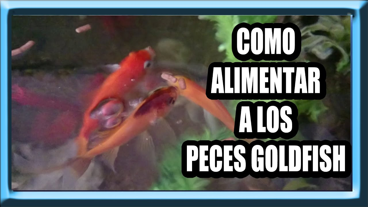 como alimentar peces goldfish youtube
