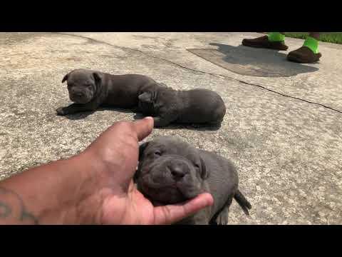 Pitbull Puppies For Sale - Pitbull Puppies For Sale