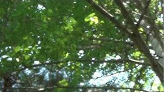 Haapa ( Populus tremula )