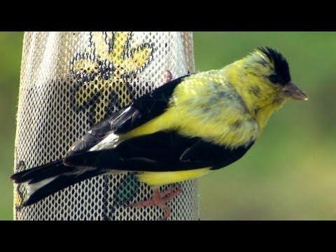American Goldfinch - HD Mini-documentary