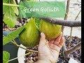 Tasting The Green Goliath Fig 2018