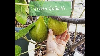 Tasting the Green Goliath fig 2018