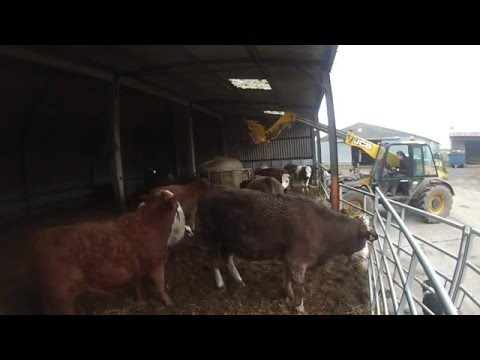 Feeding Cattle Silage