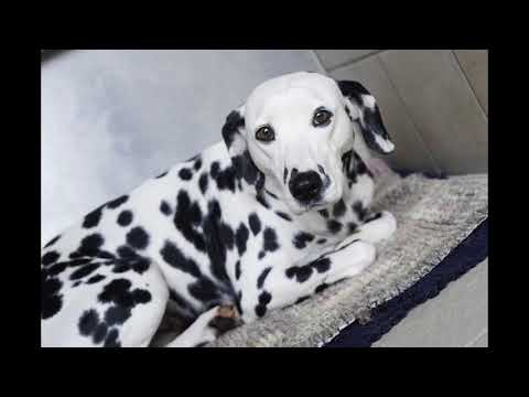 ***Potty Train your Dalmatian Puppy?***FREE mini course here*** Awesome****