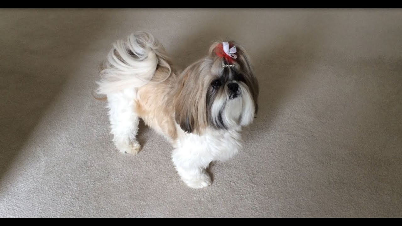 Shih tzu dog lacey barking to african penguin chicks on Why does my dog bark when i leave