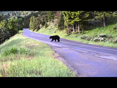 Black bear near Mammoth in Yellowstone National Park