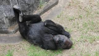 2017.06.02撮影 千葉市動物公園のゴリラのローラちゃん の~んびり、く...