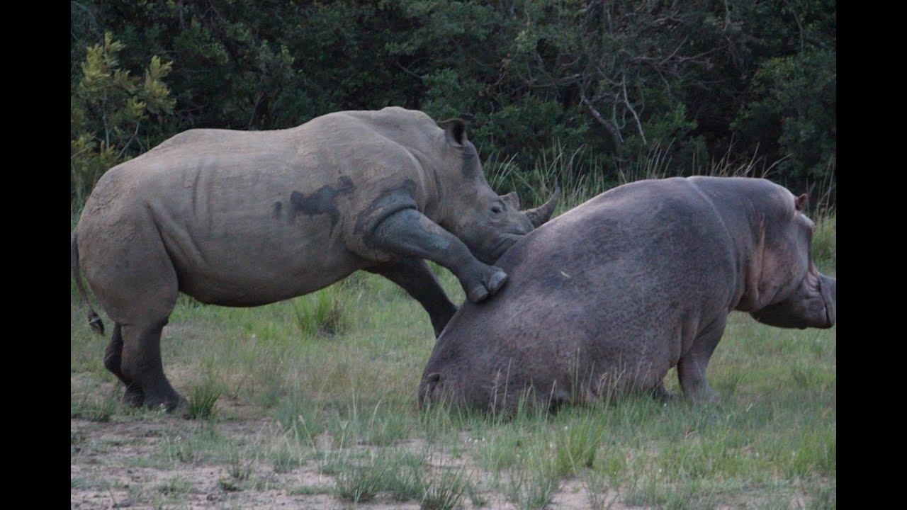 Rhinoceros vs Hippopotamus