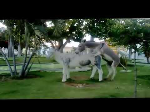 big donkey mating sex free