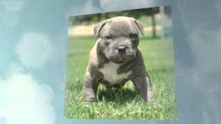 How To Potty Train Pitbull Puppy