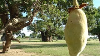 Baobab superfruit: find out why you should be eating it!