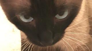 (В) Чужая душа – потемки, ну а кошачья – тем более.  =^..^= СИАМСКИЕ КОШКИ