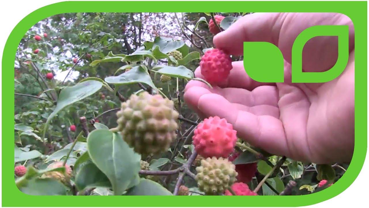 Leuchtend Rote Fruchte Im Schattengarten Cornus Kousa Youtube