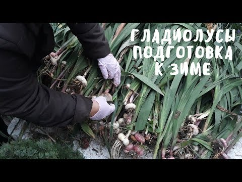 Подготовка гладиолусов к зиме. Мои цветы. Мой опыт.