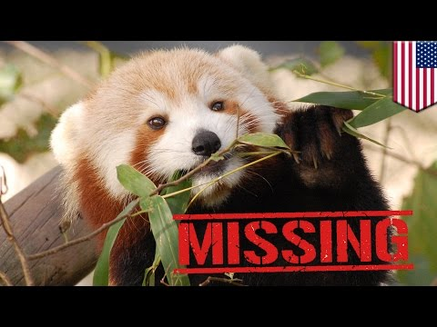 Red panda: Sunny the 19-month-old red panda goes missing from Virginia Zoo in Norfolk - TomoNews