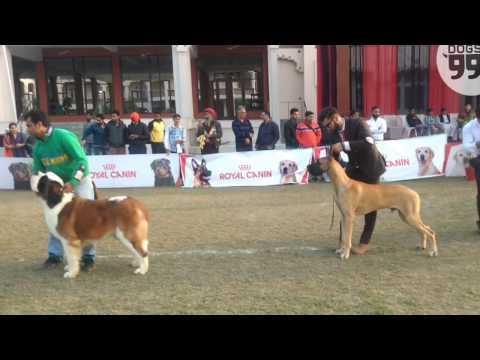 Amritsar Dog Show | 25th Dec 2016| Group 2 Judging | Dogs99.com