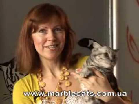 Marble Design *UA -британские котята мраморных окрасов.wmv