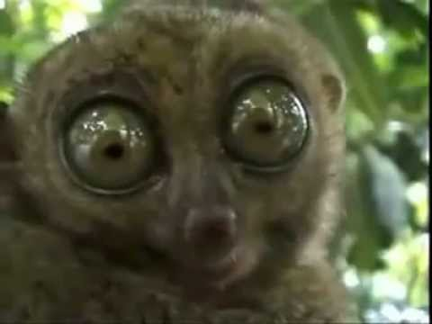 THX slow loris with big eyes