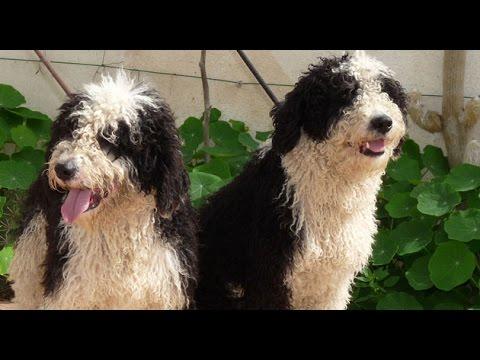 Spanish Waterdog (Perro de Agua Español) - Dog Breed