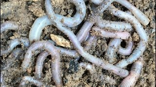 How to find worms