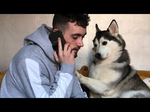 My Siberian Husky gets Angry when I use my mobile phone!