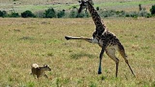 Giraffe kills lion  Giraffe attacks lion pride and kicks one of them to death
