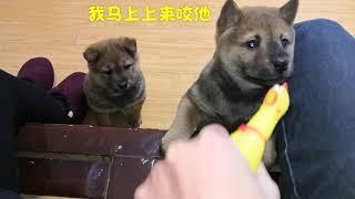 尖叫鸡调戏中华田园犬,小奶狗腿短够不着急得爬沙发,太可爱了。发布中...