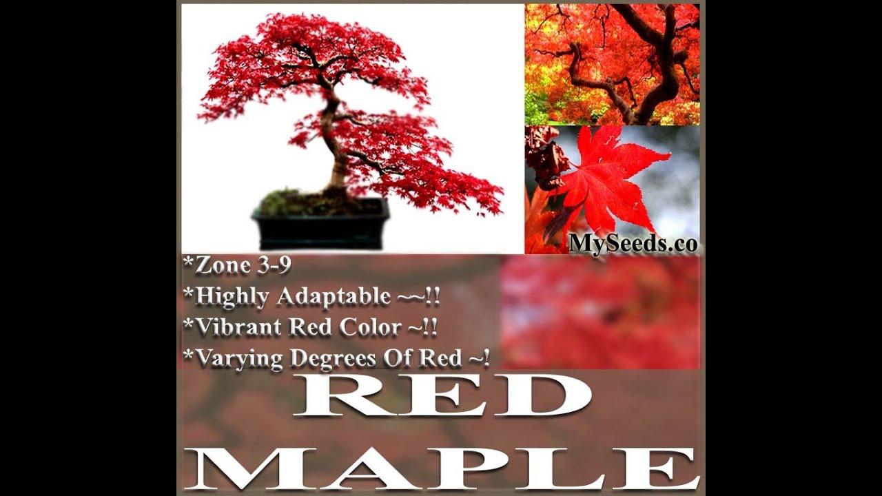 Red Maple Tree Seeds Acer Rubrum Japanese Bonsai Japanese Maple