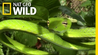 How Jungle Predators Get Their Prey | Destination WILD