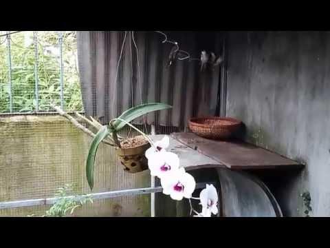 Nuôi chim chào mào sinh sản, hót hay ở Bình Phước