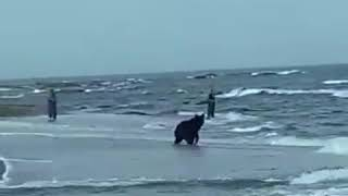 На Сахалине медведи рыбачат вместе с людьми