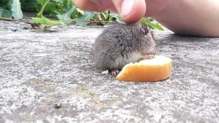 20160704 124848 ручная полевая мышь