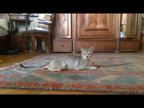 Oli Gonzales, the Abyssinian Cat