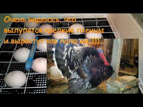 Инкубационные яйца, как и где их покупать