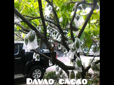 Cacao Farming : Cacao Davao Tour #CacaoFarmVisitDavao #DavaoCityChocolate