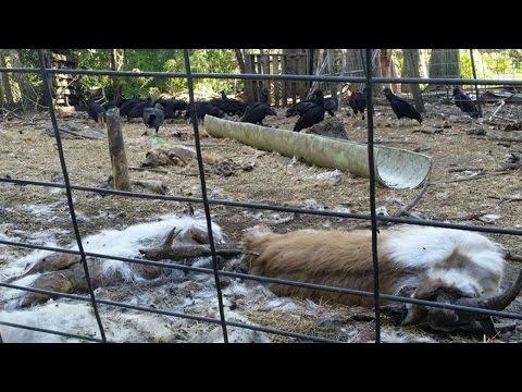 Animales 360: clausuran matadero ilegal en Miami y enfrentan cargos por crueldad animal