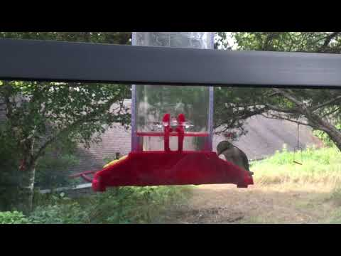 Surprise Visitor at Hummingbird Feeder, Wisconsin