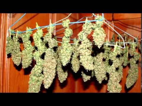 3/4 POUND CFL WEED PLANT