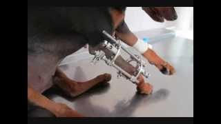 Наружный остеосинтез на предплечье у собаки