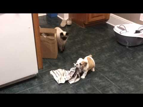 English Bulldog Puppy and Cat