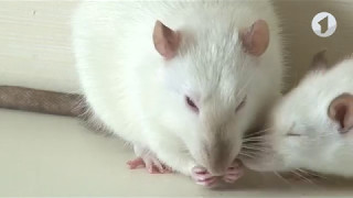 Необычные домашние питомцы: декоративные крысы / Утренний эфир