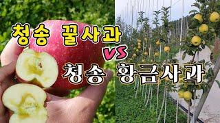 청송꿀사과는 가고 청송황금사과의 시대가 오는가...시나…