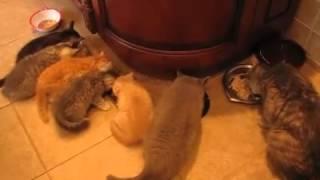 Кормление британских и шотландских котят
